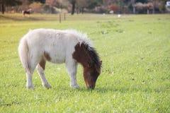 Jeune petit cheval mignon dans une ferme avec le fond d'herbe verte dedans Photographie stock