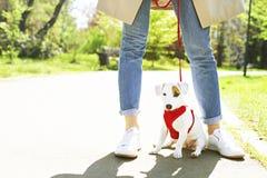 Jeune petit chien de race avec la tache brune drôle sur le visage Portrait de chienchien heureux mignon de terrier de Russel de c Photo libre de droits