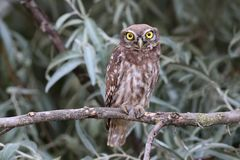 Jeune petit hibou avec de grands yeux jaunes se reposant sur des branches Image libre de droits