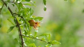 Jeune petite grenade s'élevant sur un arbre banque de vidéos