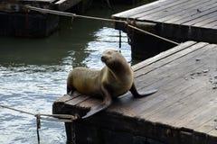 Jeune phoque heureux posant sur un ponton flottant Photo stock