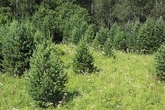 Jeune pin parmi des wildflowers Photo stock