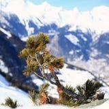 Jeune pinetree Photographie stock libre de droits