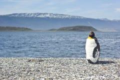 Jeune pinguin de roi près de mer Photo stock