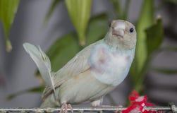 Jeune pinson masculin de Gouldian de diamant espèces d'un oiseau de la famille d'Estrildidae Avec la plume images stock