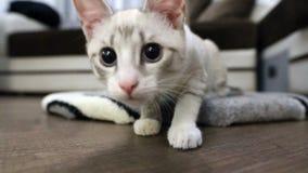 Jeune plan rapproché de chat de museau et d'expressions du visage clips vidéos