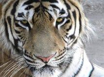 Jeune plan rapproché de tigre d'Amur image stock