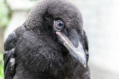 Jeune plan rapproché observé bleu noir d'oiseau de freux (frugilegus de Corvus) sur le fond trouble photos stock