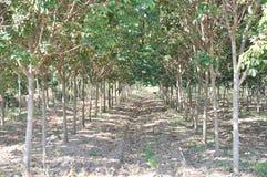 Jeune plantation d'arbres en caoutchouc Images stock