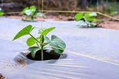 Jeune plantation de melon paillant avec la feuille de plastique Images libres de droits