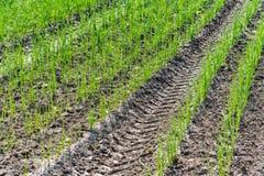 Jeune plantation de poireau photos libres de droits