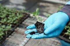 Jeune plante à disposition avec des gants Photos stock