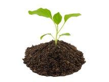 Jeune plante d'aubergine Photographie stock libre de droits