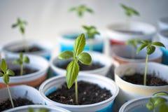 Jeune plante d'Impatiens Photo libre de droits