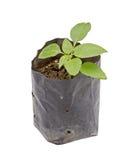 Jeune plante dans le pot en plastique noir d'isolement sur le blanc Photographie stock