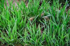 Jeune plante de blé Photographie stock