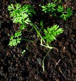 Jeune plante de carotte Photos libres de droits