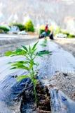Jeune plante de chanvre industriel avec le tracteur photo stock