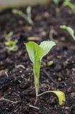 Jeune plante de chou-rave Photos stock