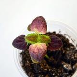 Jeune plante de coleus avec les feuilles brunes Photo libre de droits