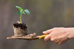 Jeune plante de concombre Photographie stock libre de droits