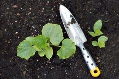Jeune plante de concombre Photographie stock