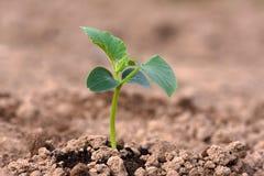 Jeune plante de concombre dans le potager Photo libre de droits