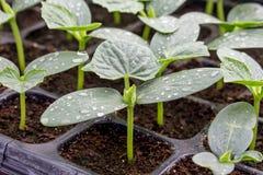 Jeune plante de concombre sur le plateau Photo libre de droits