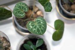 Jeune plante de cyclamen s'élevant sur la fenêtre Image libre de droits