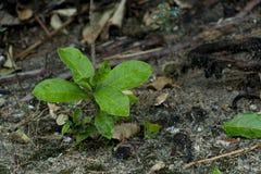 Jeune plante de fleur de transitoire sur le sol photos libres de droits