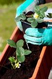 Jeune plante de fraises Images libres de droits