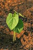 Jeune plante de haricot Photos libres de droits