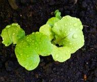Jeune plante de laitue photographie stock