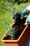 Jeune plante de lavande Photo libre de droits