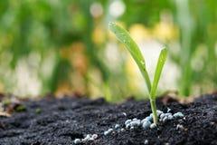 Jeune plante de maïs Images stock