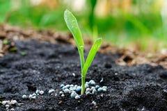 Jeune plante de maïs Image stock