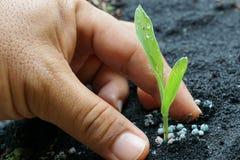 Jeune plante de maïs avec la main Photographie stock libre de droits