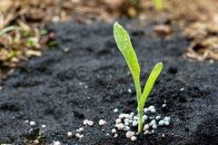 Jeune plante de maïs avec le jet d'eau Images stock