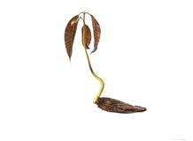 Jeune plante de mangue avec la graine et les feuilles fraîches d'isolement sur le blanc Photographie stock