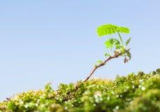 Jeune plante de mousse et de mûre Photographie stock libre de droits