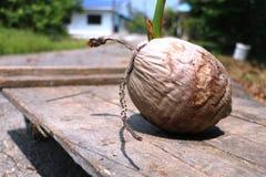 Jeune plante de noix de coco Photographie stock