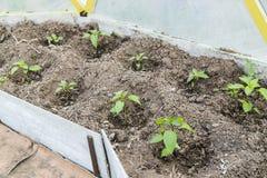 Jeune plante de Peper en serre chaude Photographie stock libre de droits