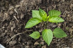 Jeune plante de Peper en serre chaude Image stock
