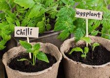 Jeune plante de piments et d'aubergine dans des pots de tourbe Photographie stock libre de droits