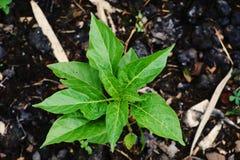 Jeune plante de piments ou de poivre photo libre de droits