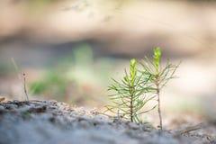 Jeune plante de pin images stock
