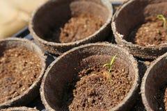 Jeune plante de poivre de Jalapeno Images stock