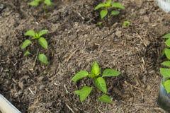 Jeune plante de poivre en serre chaude Photographie stock