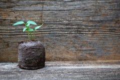 Jeune plante de poivron doux Photo libre de droits