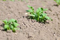 Jeune plante de pomme de terre saine dans le jardin organique Photos libres de droits